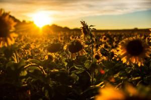 sunflower-sunset-wallpaper-widescreen-gj2x
