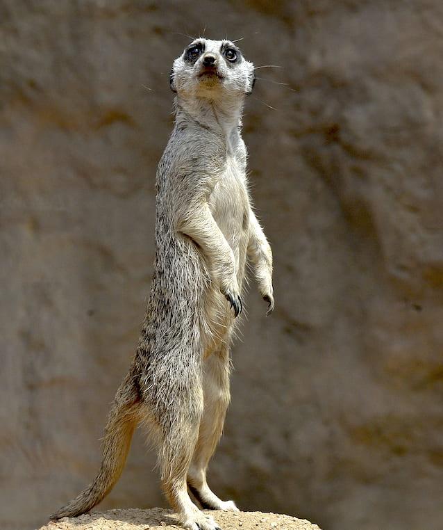 https://www.indianapoliszoo.com/exhibits/deserts/meerkat/